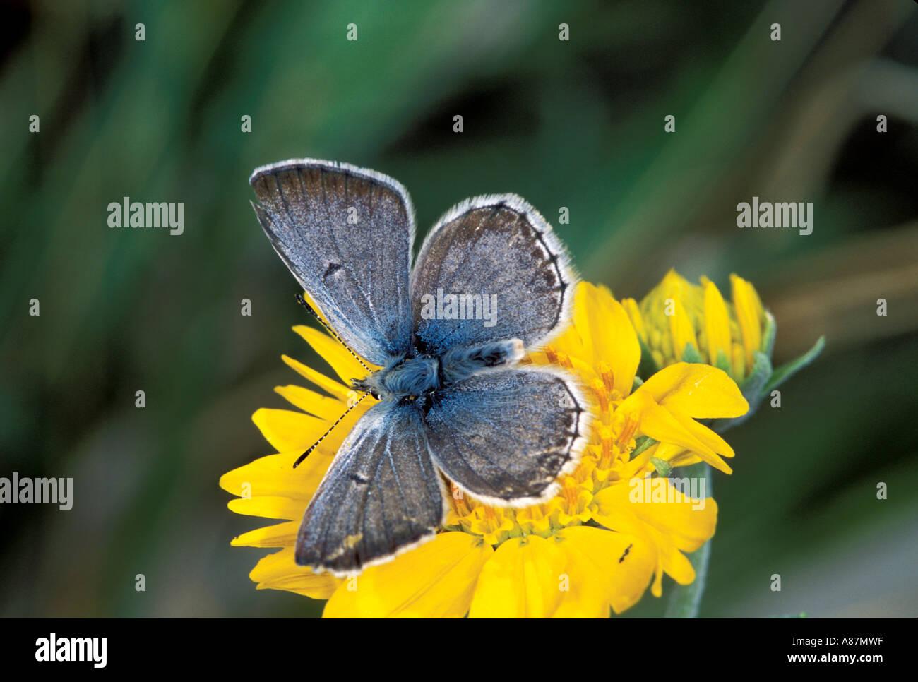 Sưu tập Bộ cánh vảy 3 - Page 19 Arctic-blue-agriades-glandon-podarce-sonora-pass-sierra-nevadas-california-A87MWF