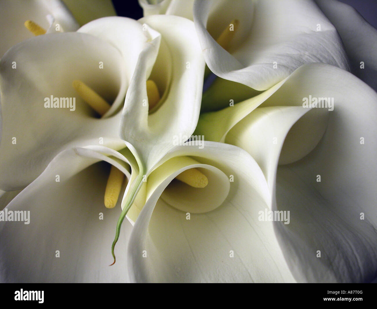 Bouquet of Calla Lilies. - Stock Image
