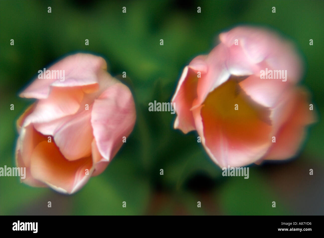 Tulip Apricot Beauty Pink Peach Tulips - Stock Image
