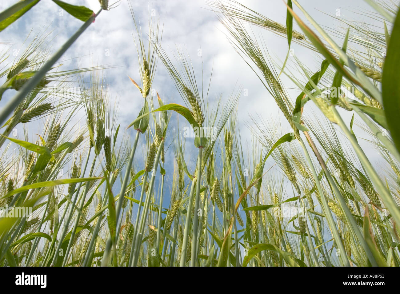 Close-up of barley  ( hordeum vulgare ) field with green unripe ears - Stock Image