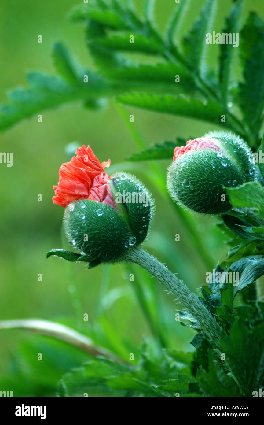 Close Up Of Water Droplets On A Giant Red Poppy Flower Bud Stock