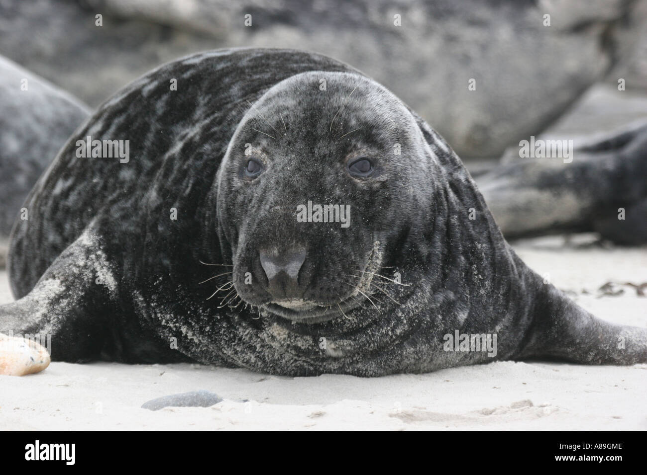 Portrait of a lazy horsehaed seal lying on the shore Stock Photo
