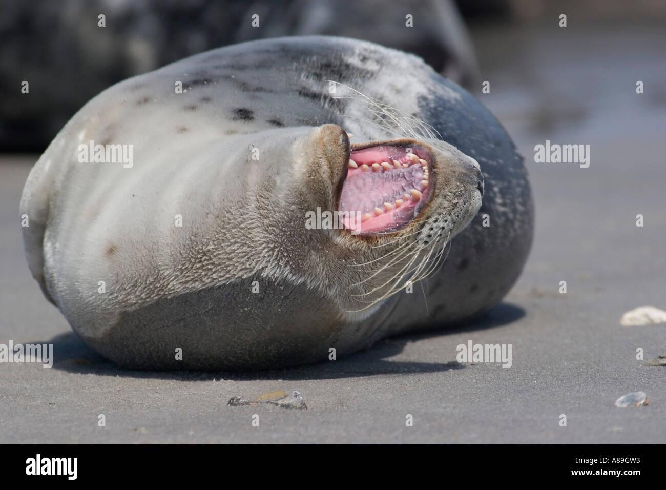 Yawning horsehaed seal Stock Photo