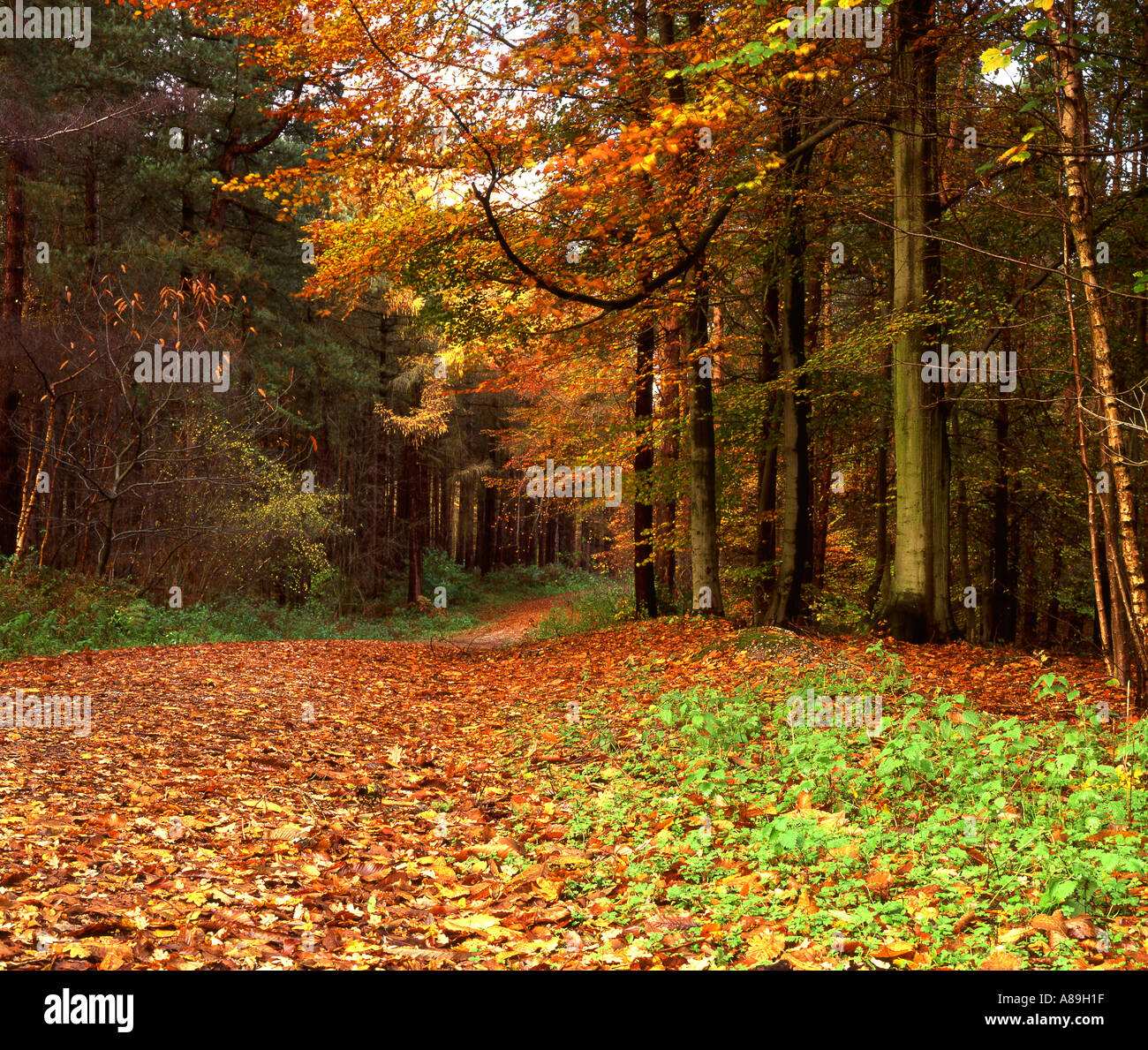Autumn in Delamere Forest, Cheshire, England, UK - Stock Image