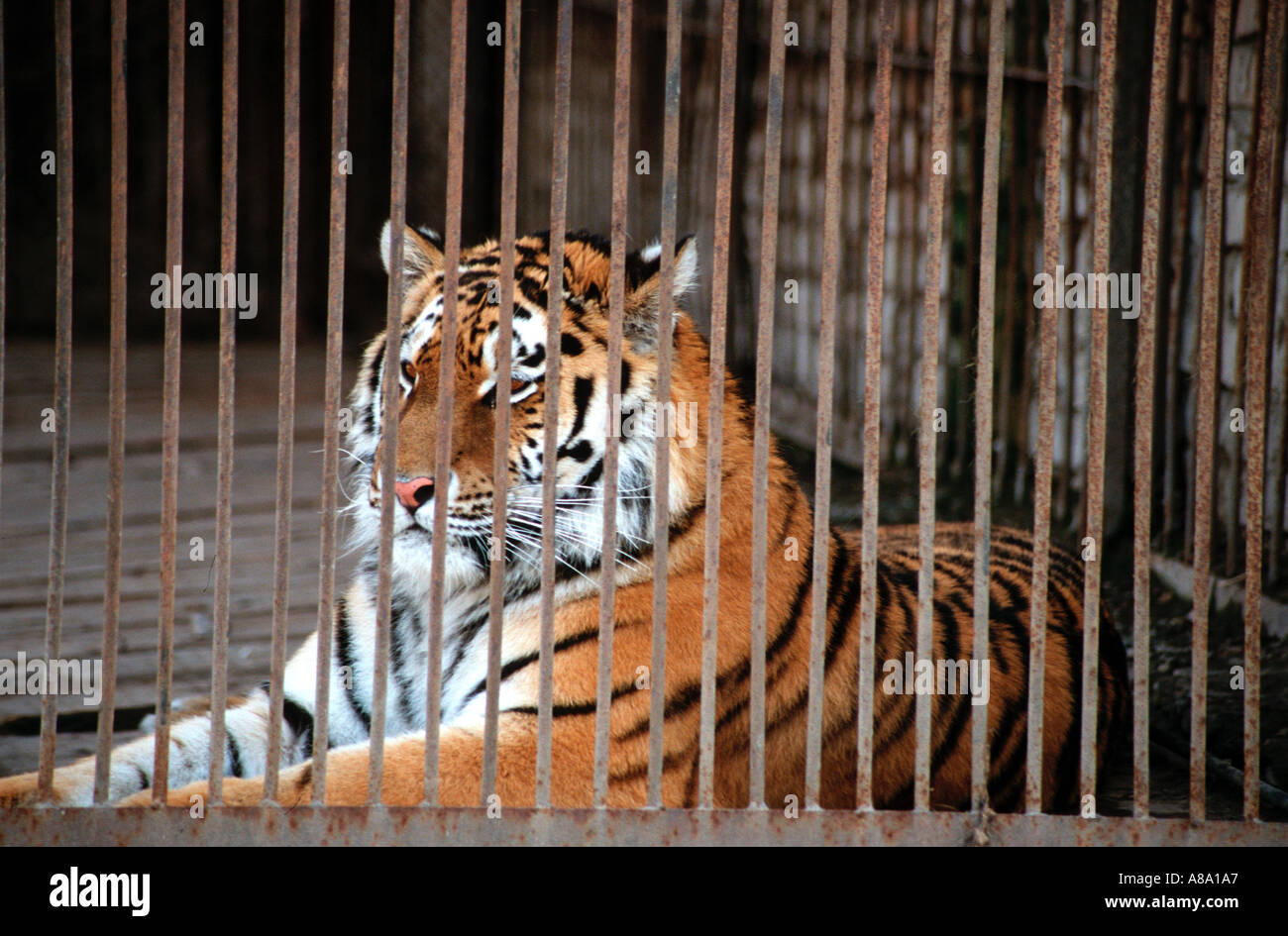 Tiger cage stock photos tiger cage stock images alamy - Tiger in cage images ...