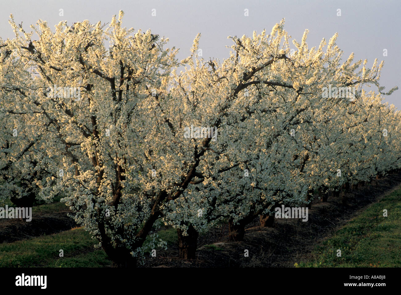 Almond Trees White Flowers In Spring Orchards Along The Blossom