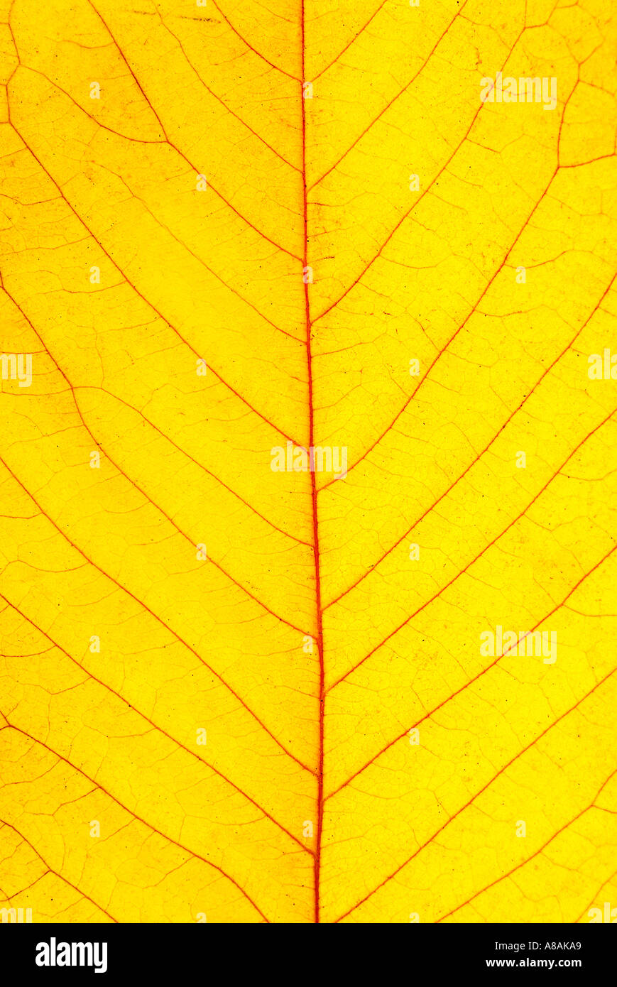 detail of a yellow cherry leave in autumn Detail gelbes Kirschblatt im Herbst - Stock Image