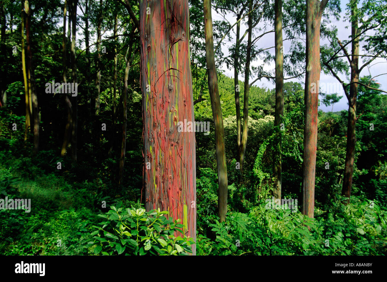 The green red bark of the PAINTED EUCALYPTUS TREES Eucalyptus deglupta is one of natures visual delights MAUI HAWAII - Stock Image