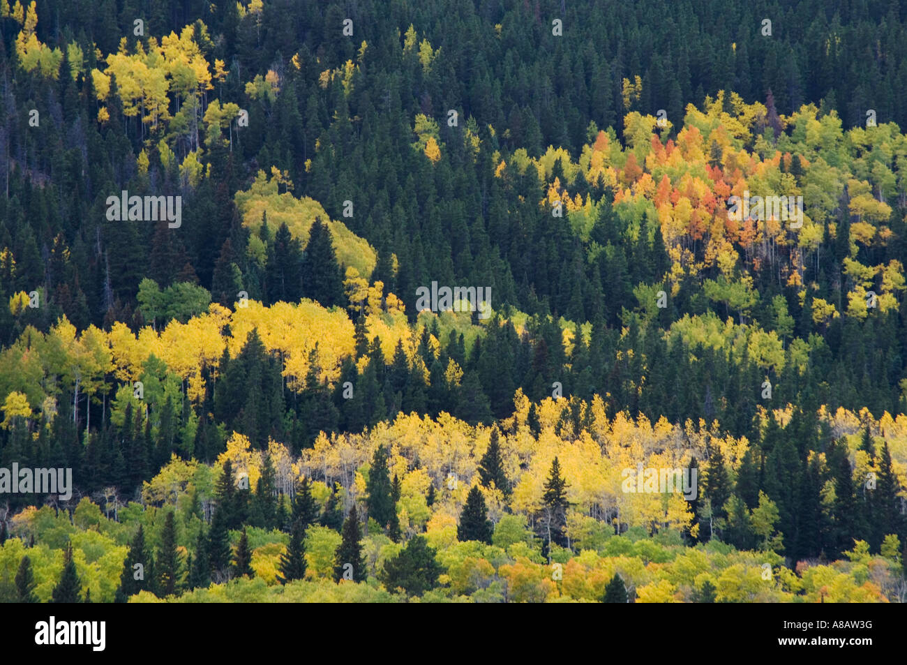 Aspen Trees In Fallcolors Endovalley Rocky Mountain National Park Stock Photo Alamy