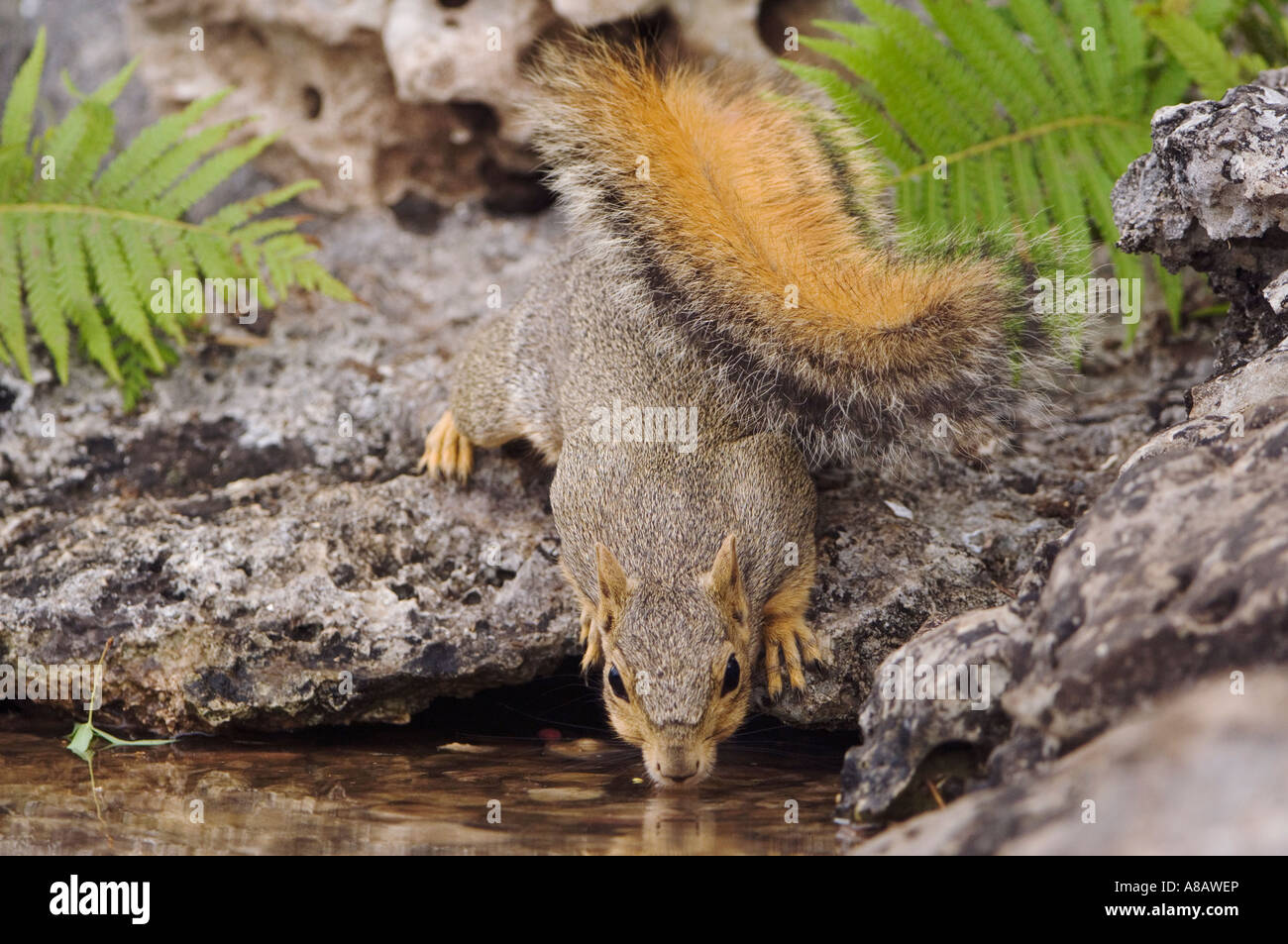 Eastern Fox Squirrel Sciurus niger adult drinking from spring fed pond Uvalde County Hill Country Texas USA April Stock Photo