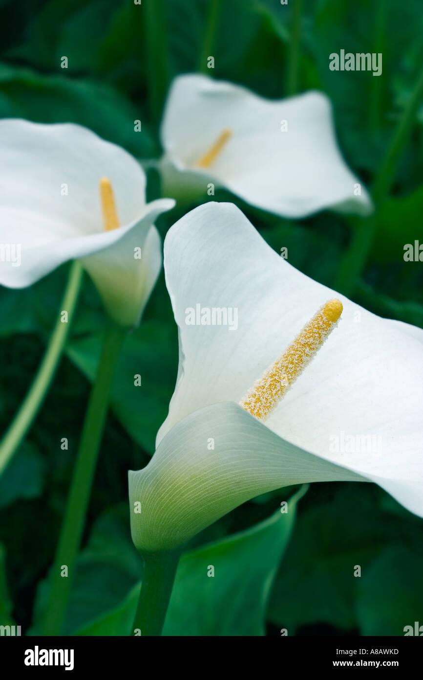 Natural shot of arum/calla lillies - Stock Image