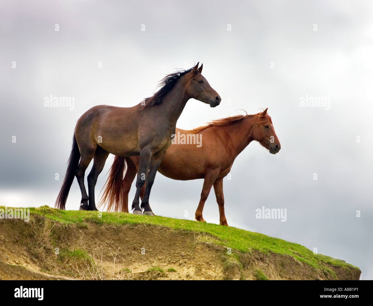 Two wild horses looking out from hilltop Stock Photo