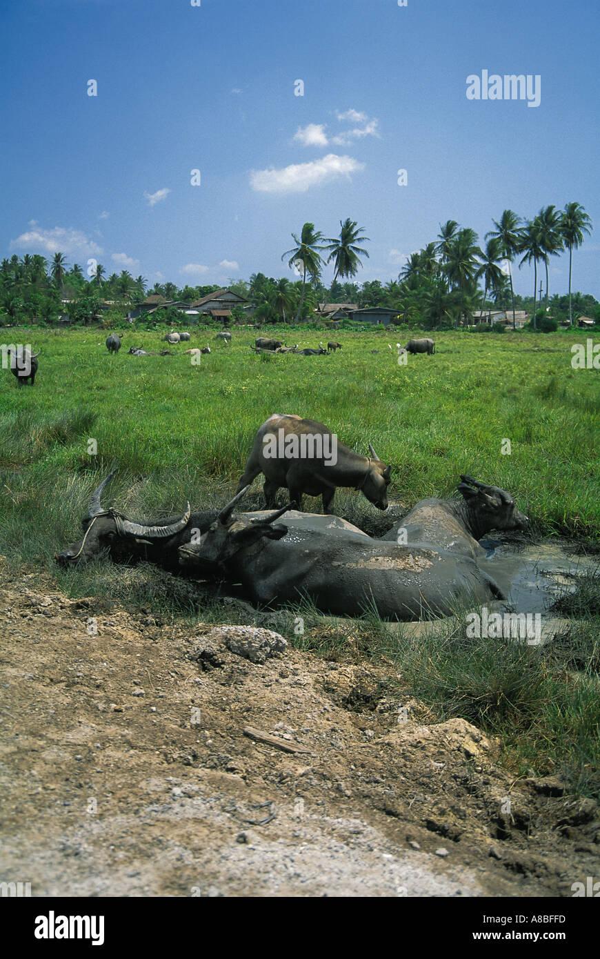 water buffalos hamlet island of ko phuket thailand - Stock Image
