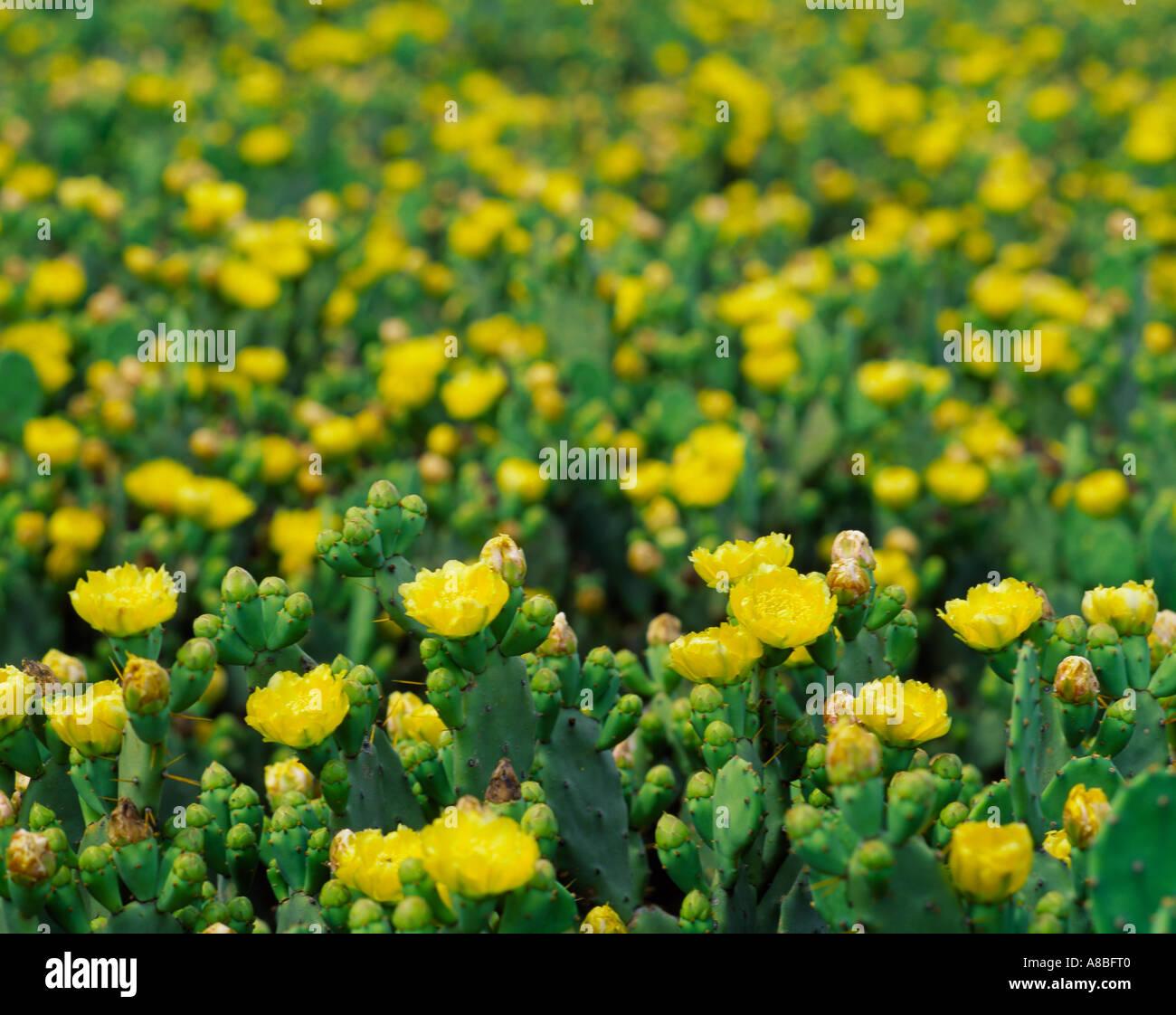 Jeju island yellow wild flowers stock photo 6886079 alamy jeju island yellow wild flowers mightylinksfo