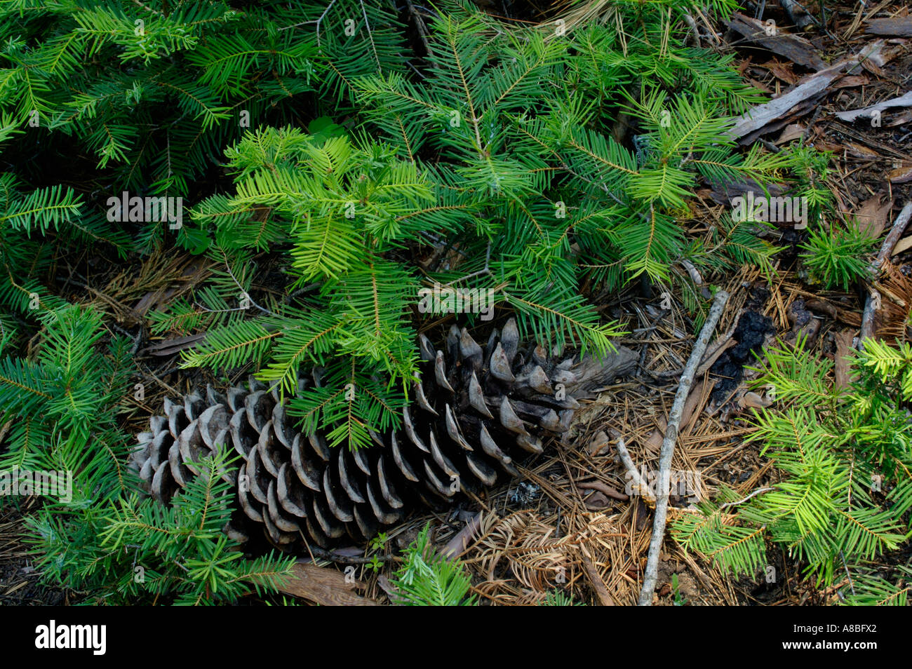 Small Sequoia Tree Stock Photos & Small Sequoia Tree Stock ...