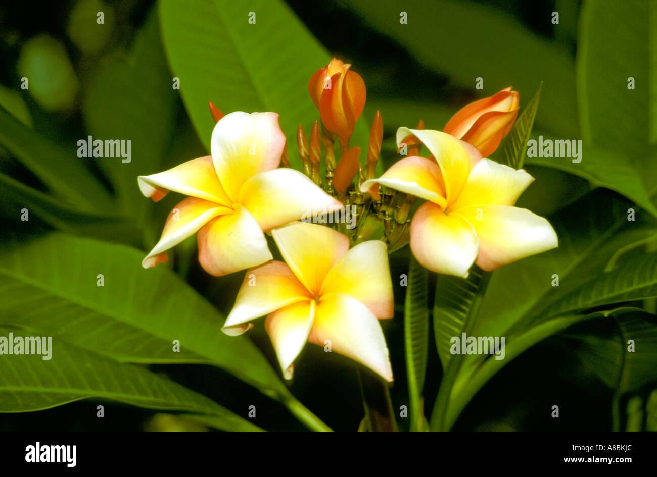 Cruising South Pacific Flora flowers plumeria frangiapani - Stock Image