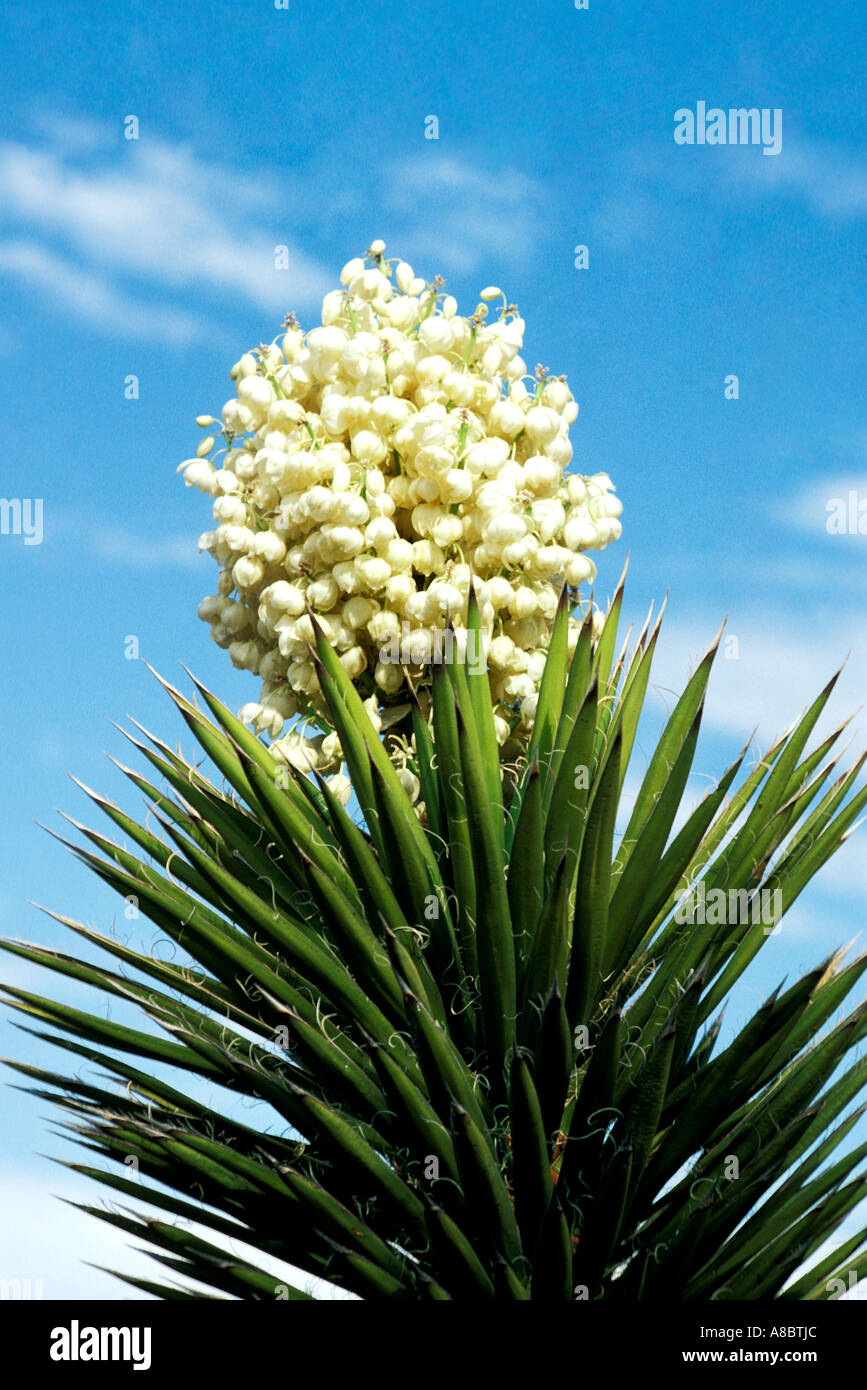 yucca palm tree flowers stock photos yucca palm tree. Black Bedroom Furniture Sets. Home Design Ideas