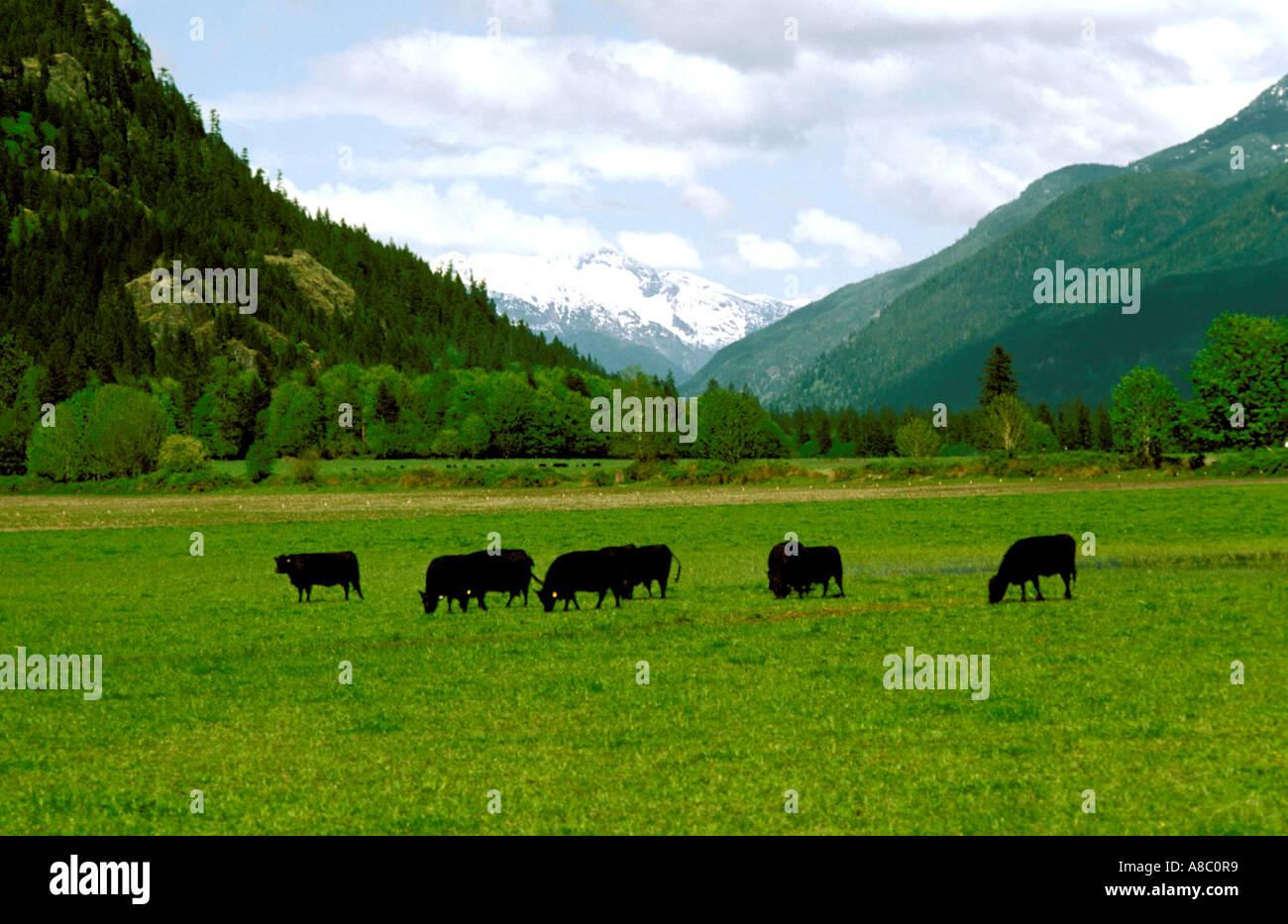 Washington North Cascades Angus Cattle along Skagit River - Stock Image