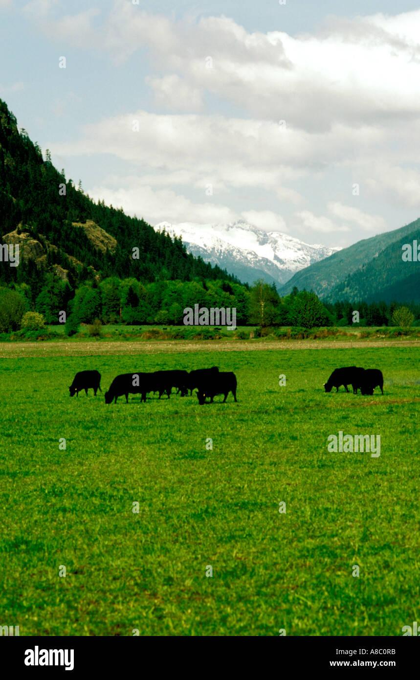 Washington North Cascades National Park Angus Cattle along Skagit River - Stock Image