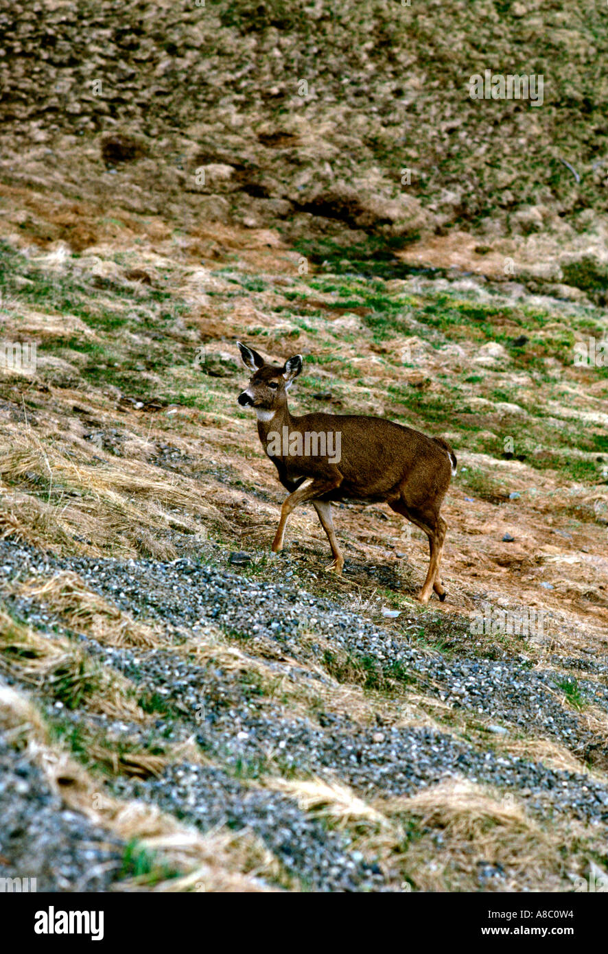 Washington Olympic National Park Hurricane Ridge deer - Stock Image