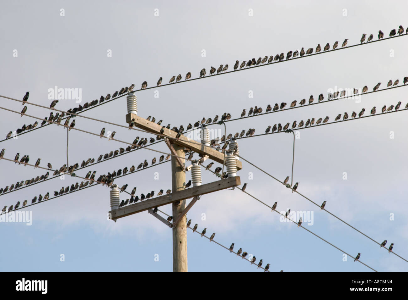 BIRDS ON ELECTRIC AND TELEPHONE LINES AT TELEPHONE POLE IN SOUTHWEST ...