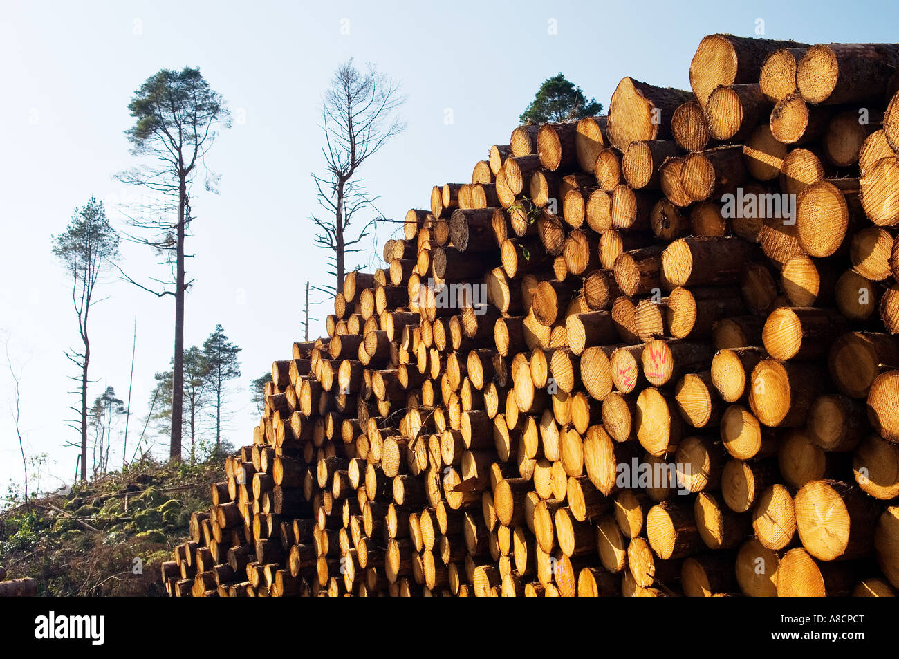 Softwood forestry conifer timber tree logging logs in Glen Carron, NE of Kyle of Lochalsh in the Scottish Highlands, - Stock Image