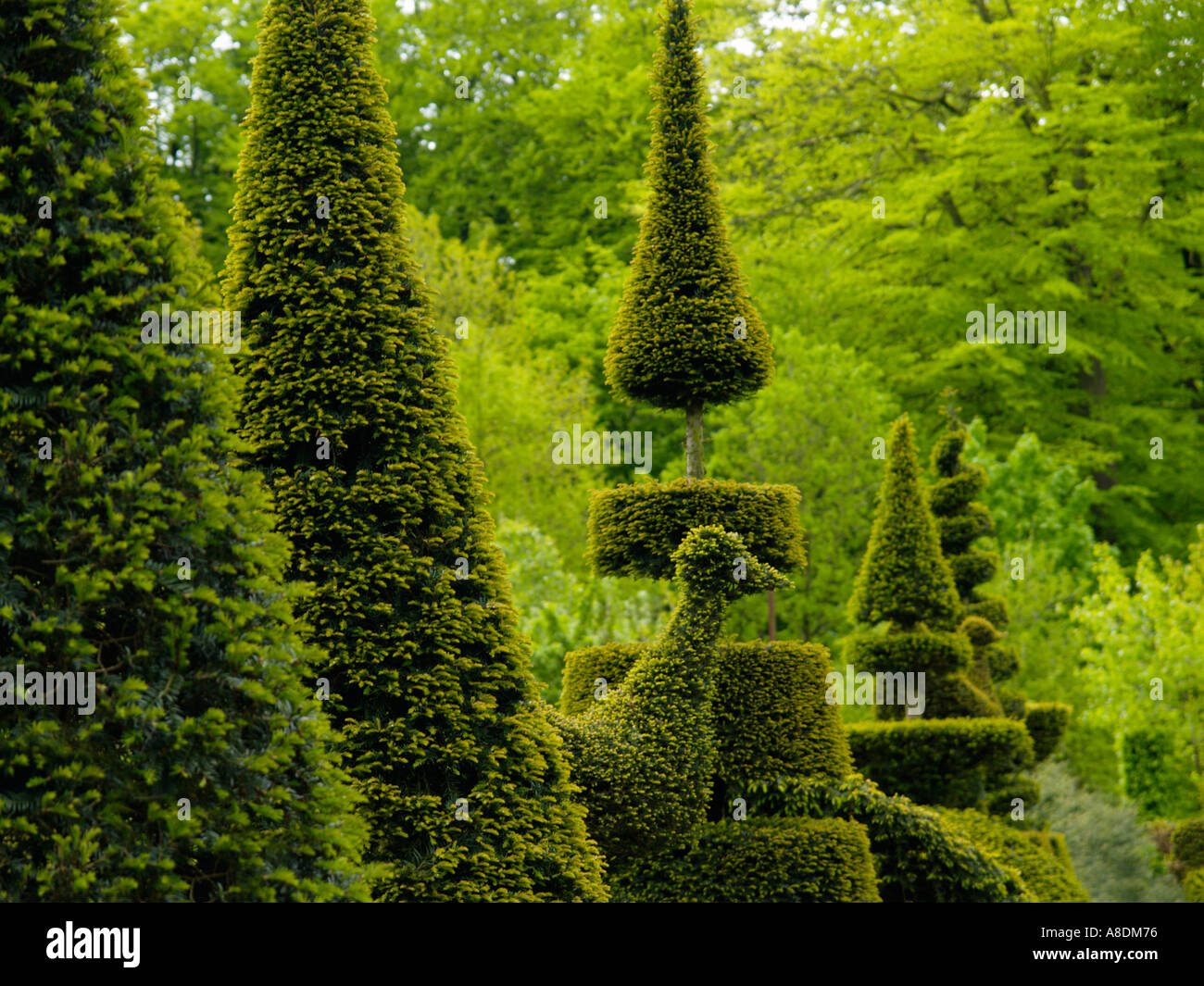 The Art Of Pruning A Line Of Taxus Yew Trees Bushes Cut Trimmed