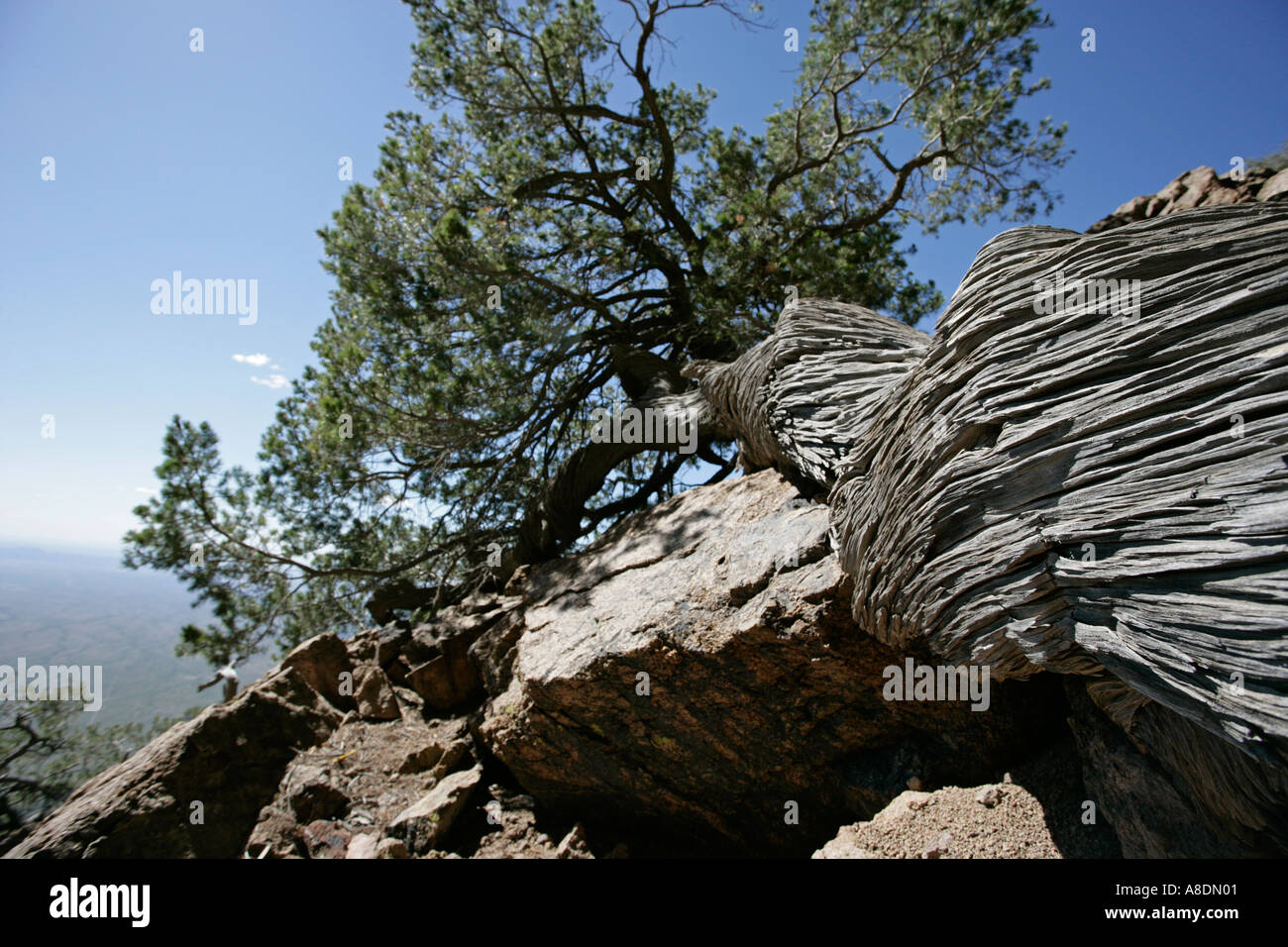 an old twisted and weathered pine tree atop a mountain in Arizona - Stock Image