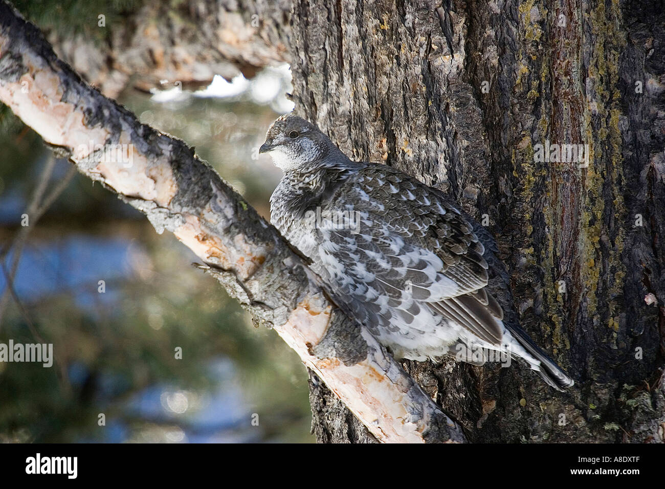 Blue Grouse Dendragapus obscurus female Yellowstone winter Stock Photo