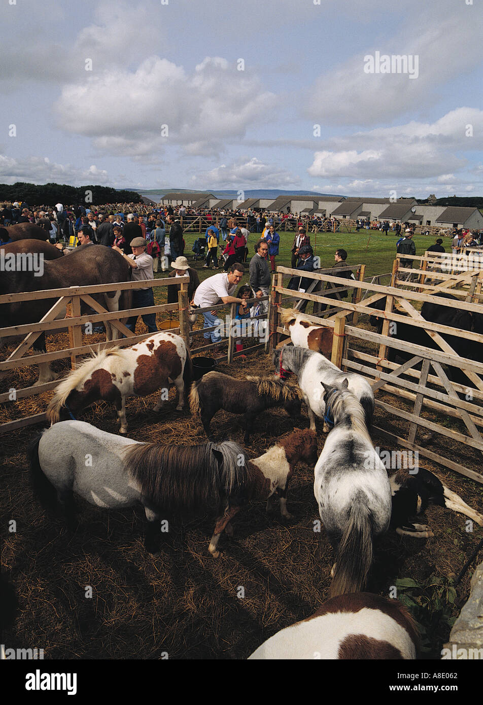 dh County show KIRKWALL ORKNEY Child with parent looking at Shetland ponies Stock Photo