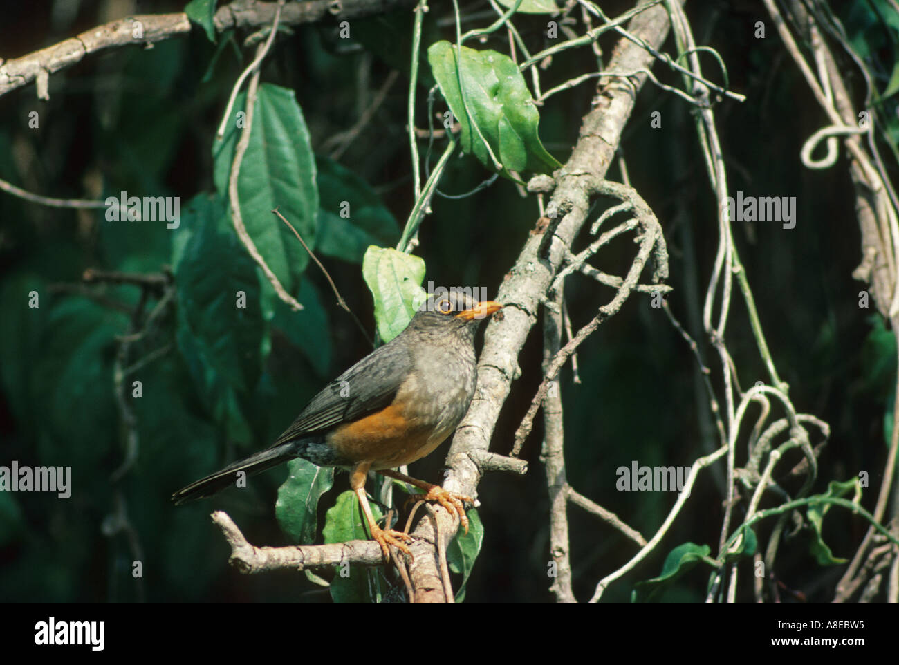 Olive Thrush Turdus olivaceus Perched on branch Stock Photo