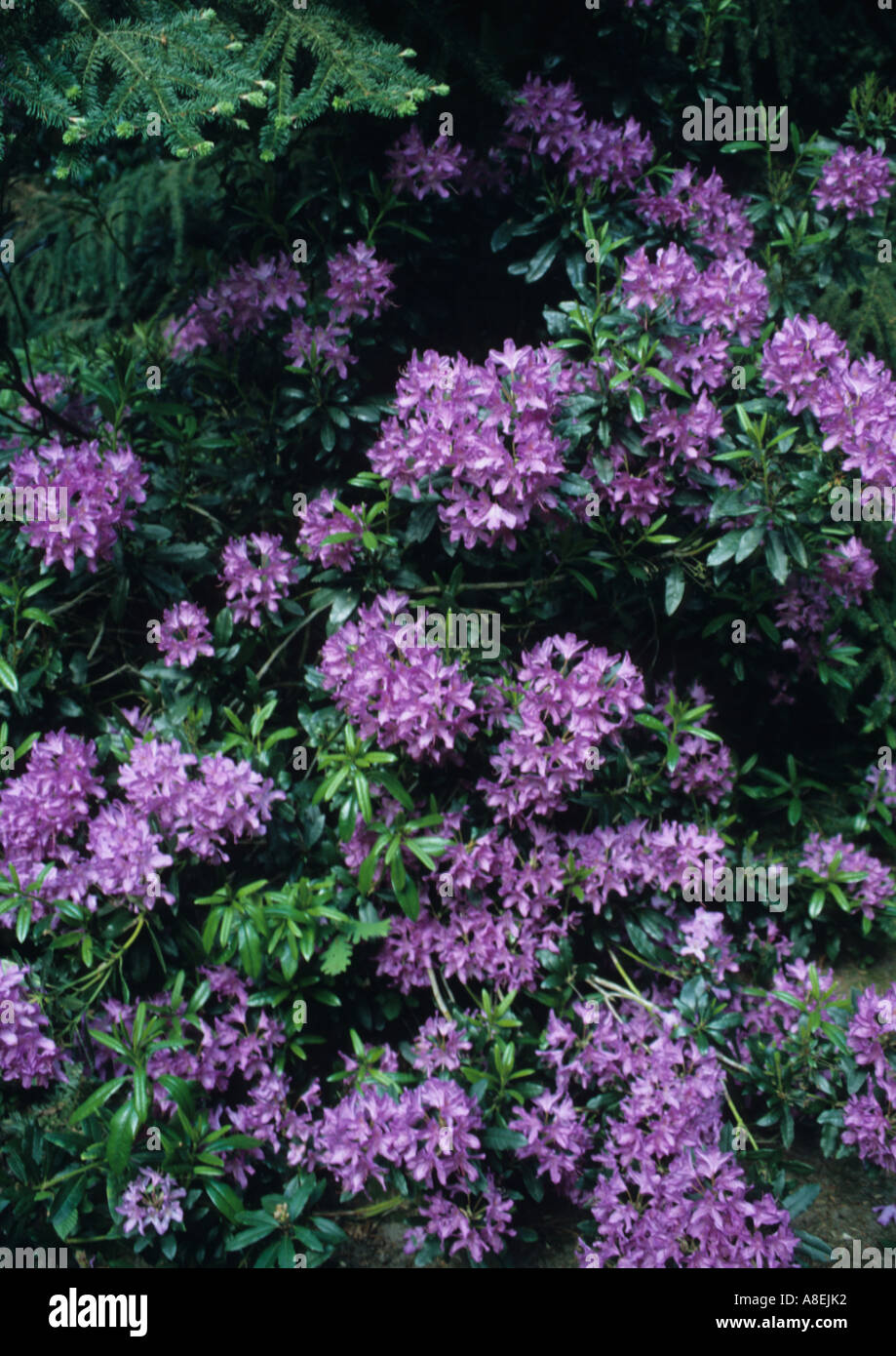 Green Bush With Purple Flowers In The Uk Stock Photo 6902705 Alamy