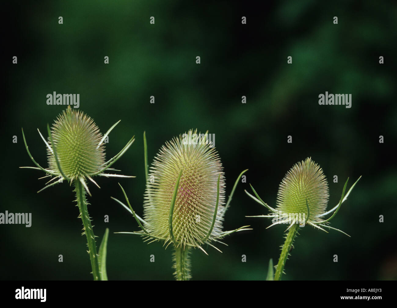 Teasels (Dipsacus fullonum) in the Uk - Stock Image
