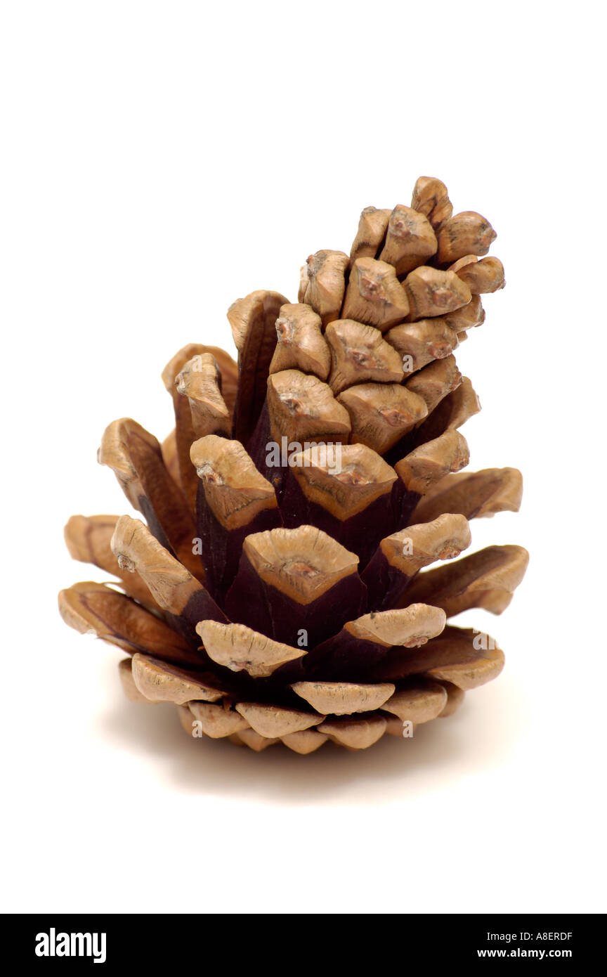 Pine cone on white background - Stock Image