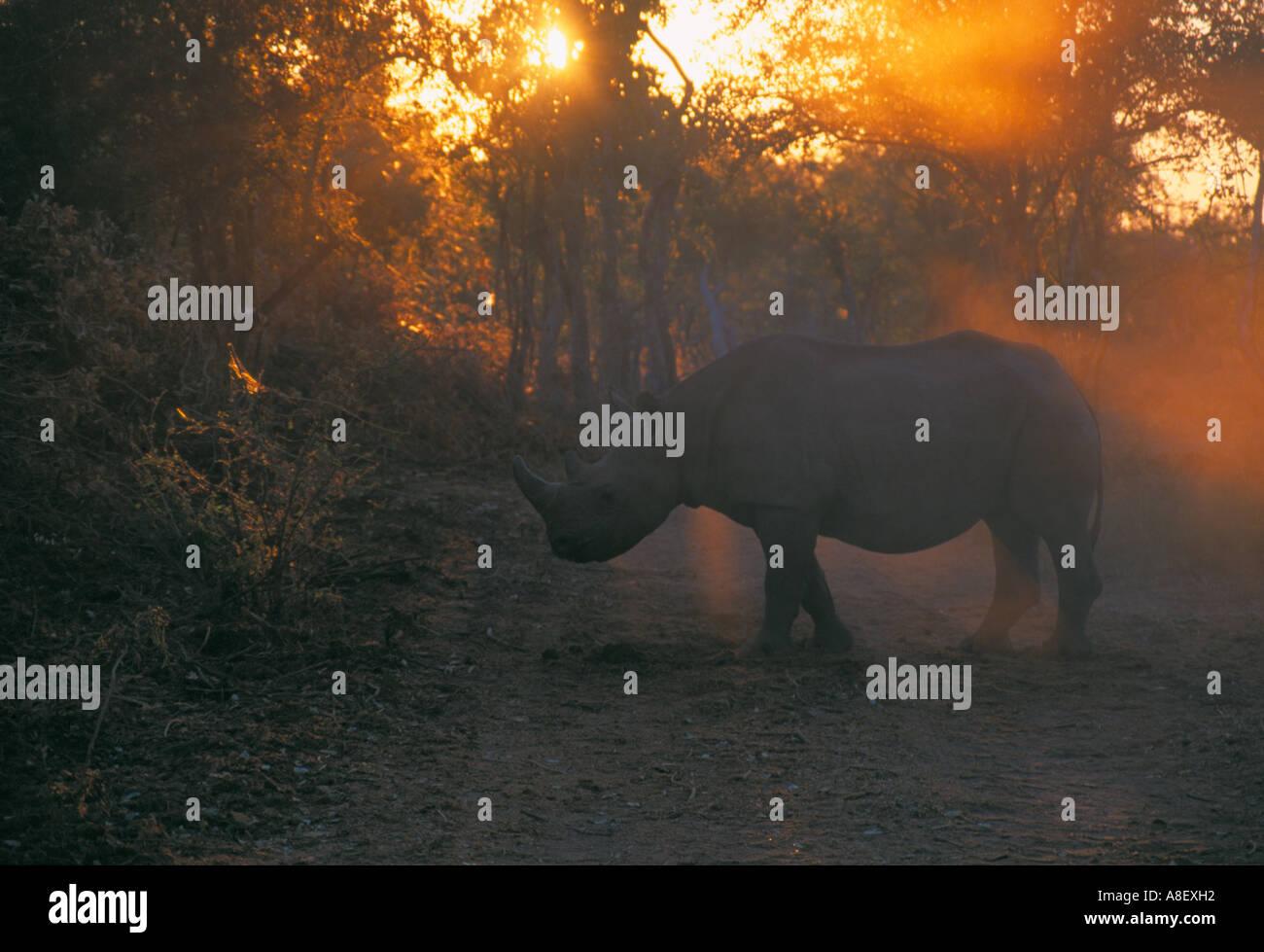 White rhino, Kariba, Zimbabwe, Africa - Stock Image