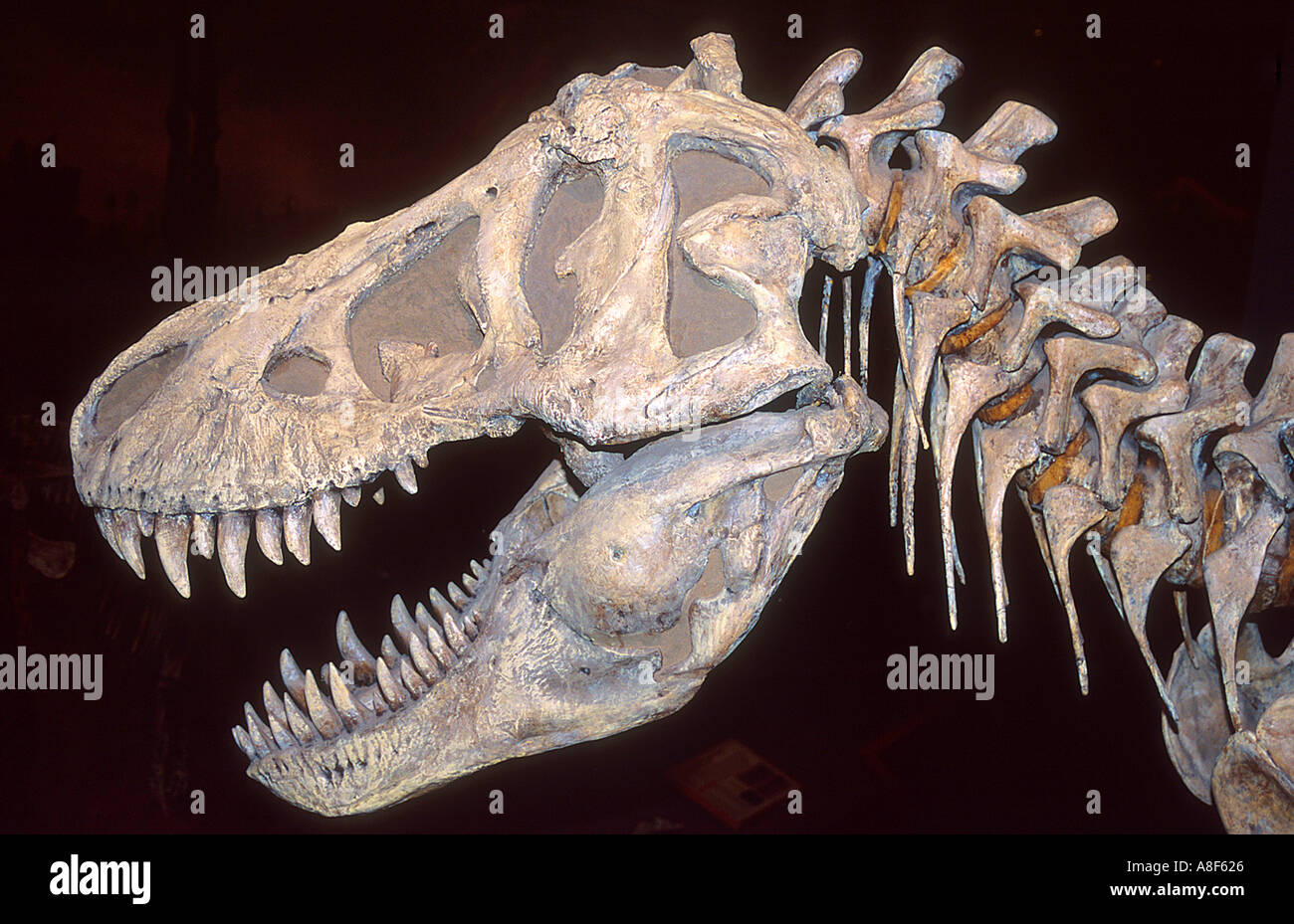 Head of a Tyrannosaurus Rex Dinosaur at the Royal Tyrell Dinosaur Museum near Drumheller Alberta Canada - Stock Image