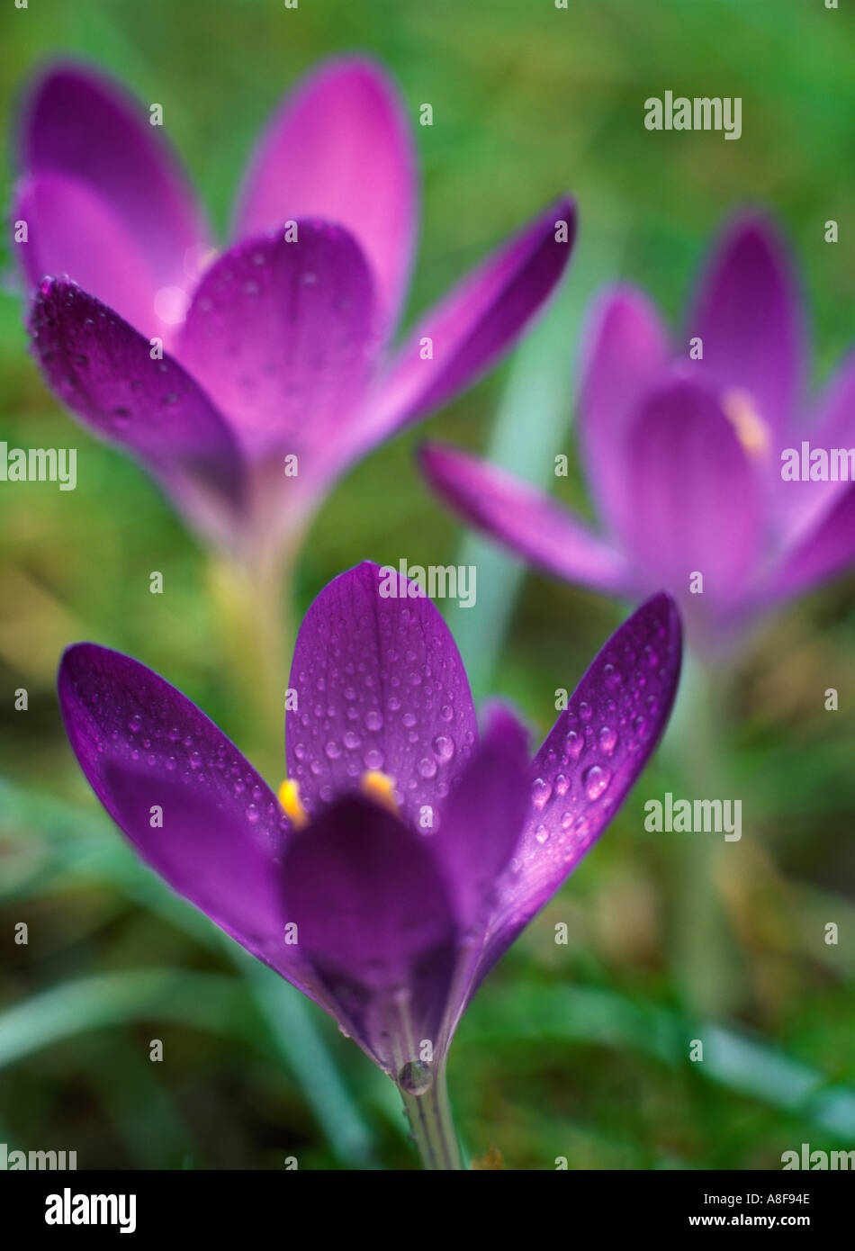 Crocus Vernus Three Purple Flowers Growing In Lawn Of Short Green