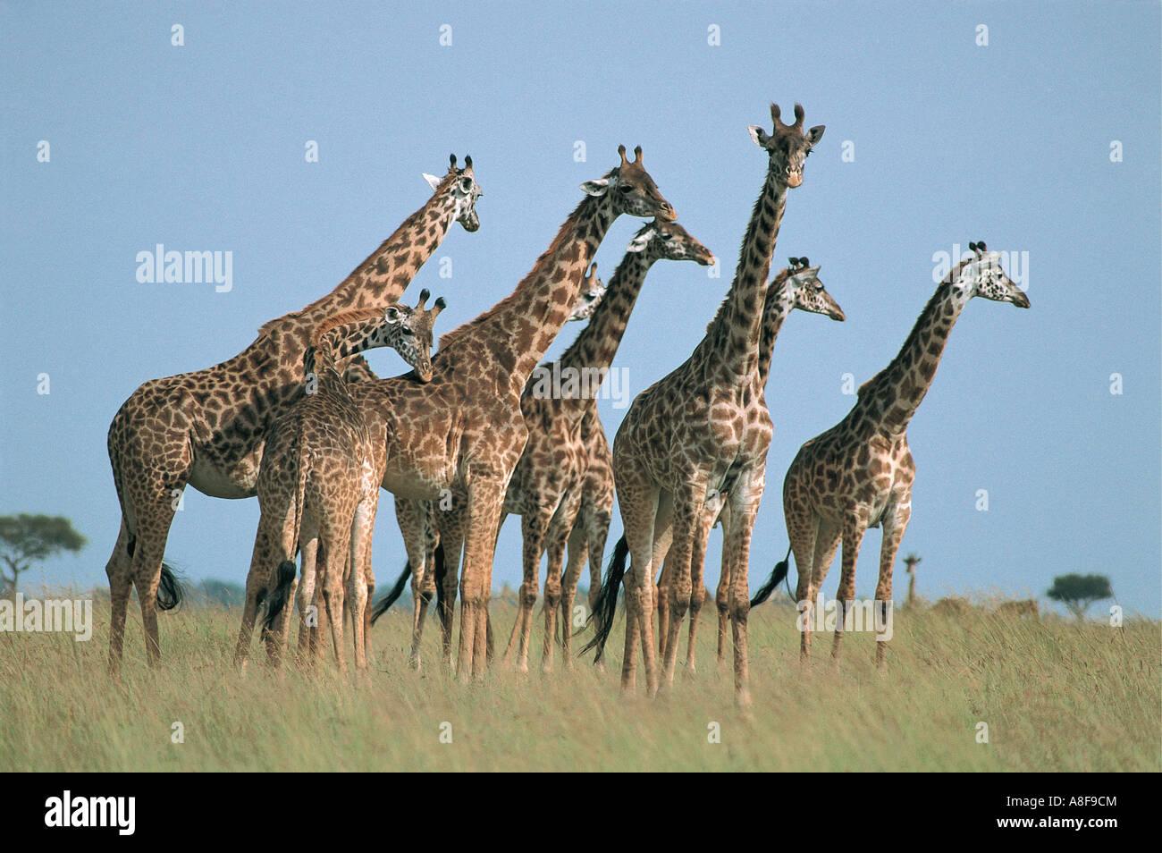 Herd of Masai Giraffe Masai Mara National Reserve Kenya - Stock Image