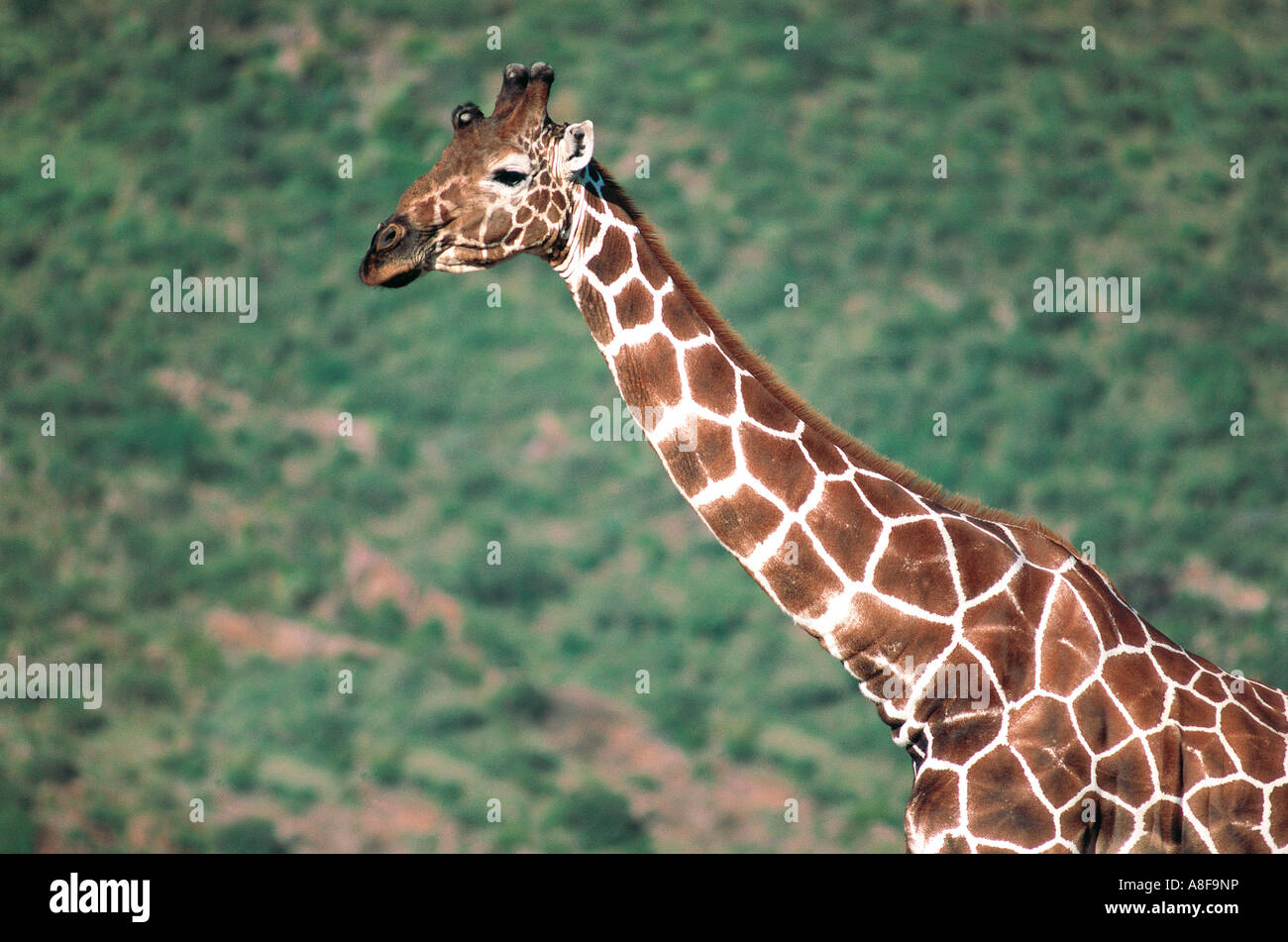 Reticulated Giraffe Samburu National Reserve Kenya - Stock Image