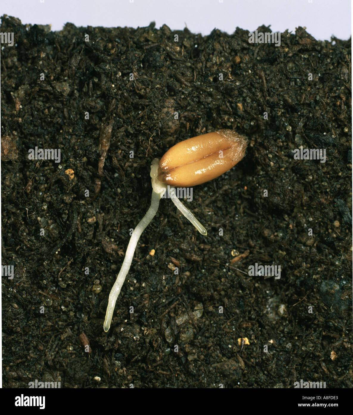 Monocot Seed Stock Photos & Monocot Seed Stock Images - Alamy