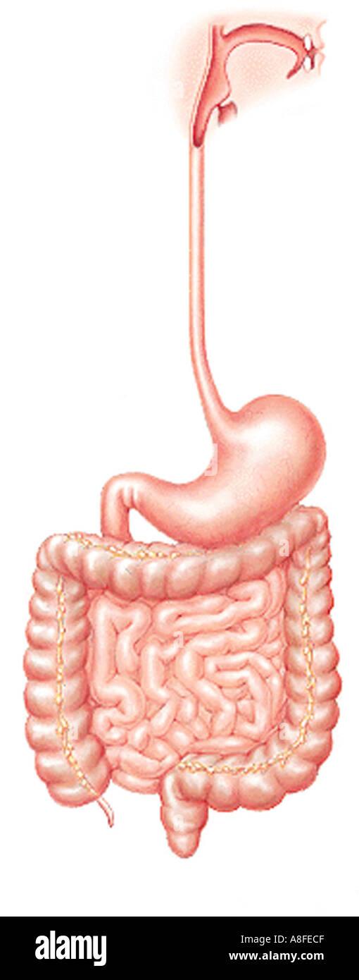 Illustration Gastrointestinal Tract Stock Photo 589519 Alamy