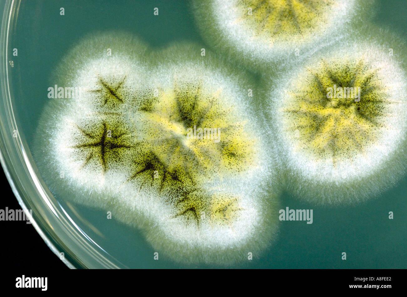 Aspergillus Plate