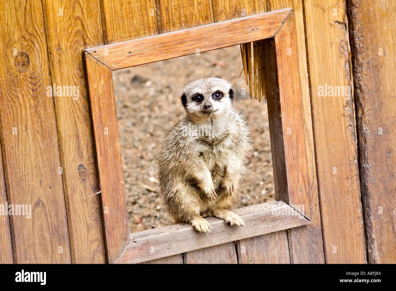Meerkat at the Door - Stock Image