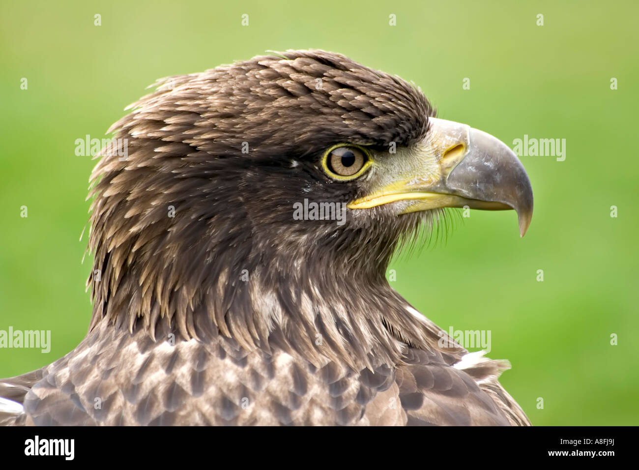 The Stare of an Eagle - Stock Image