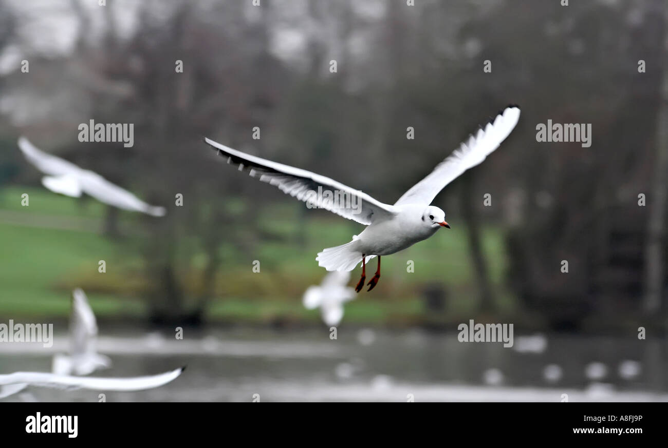 A gull in flight, mid way through an attack - Stock Image