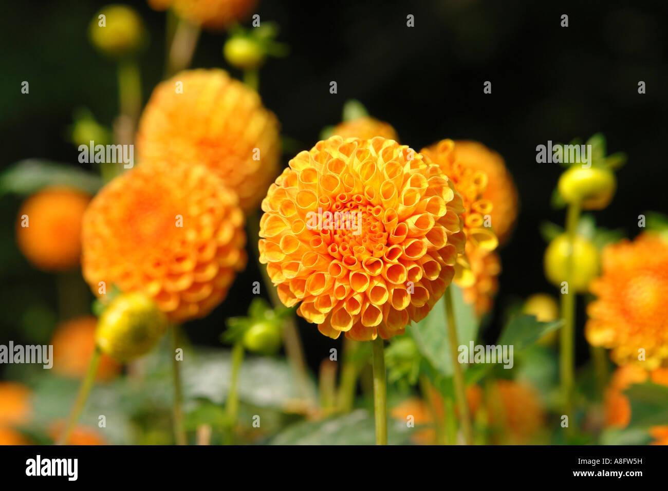 Dahlia garden in Volkspark in Hamburg Germany - Stock Image