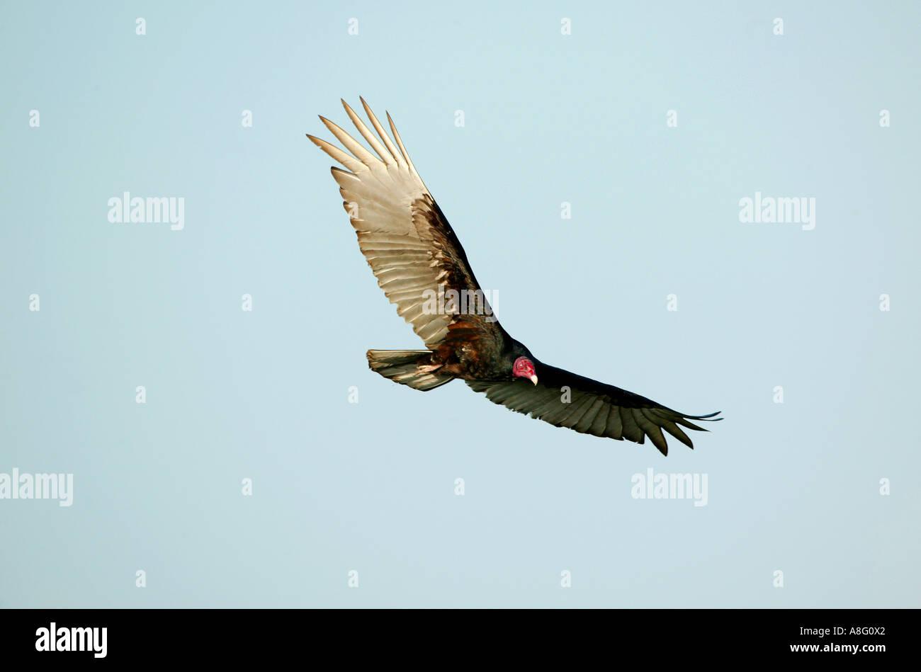 Turkey Vulture, Cathartes aura, over the rainforest of Soberania national park, Republic of Panama. - Stock Image