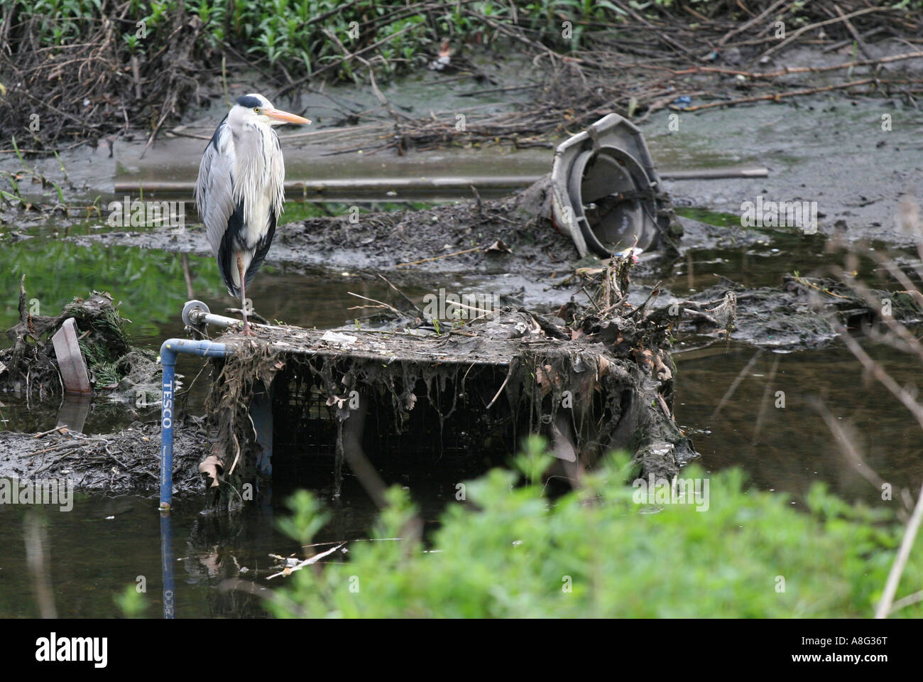 27 April 2006 Grey heron on supermarket trolley in Ravensbourne River a tributary of the Thames Lewisham London - Stock Image