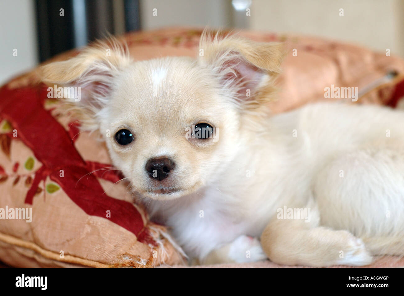 Cute And Fluffy Chihuahua Puppy Resting On A Cushion Stock