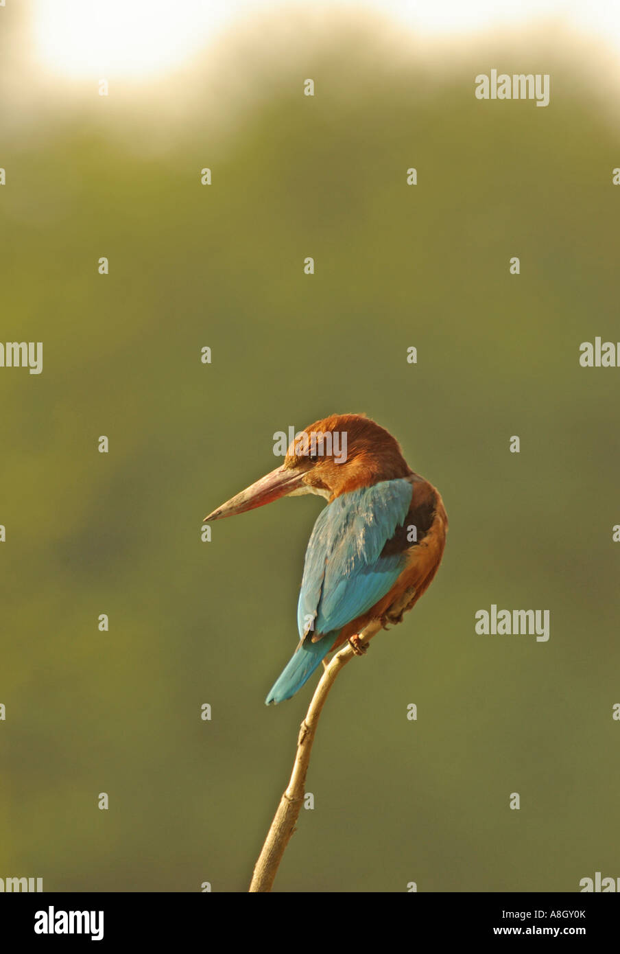 White throated kingfisher, Halcyon smyrnensis - Stock Image